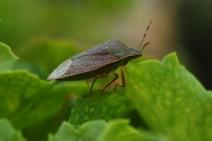 Natura cimice puzzolente quasi in macro scatti di vita for Cimice insetto